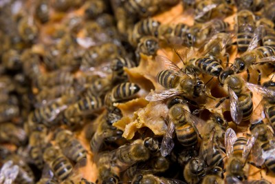 Bees and Wasps - Holistic Pest Solutions Charlottesville