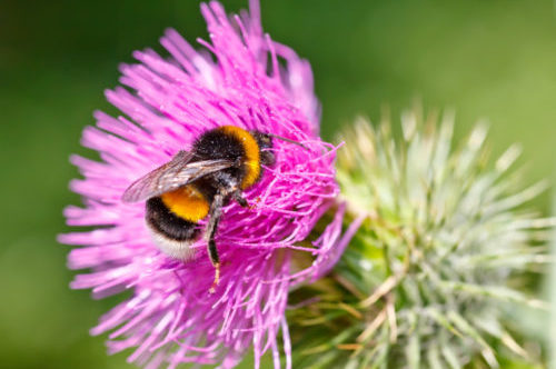 Bumble bee collecting pollen on pink flower