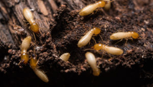 Close up termites
