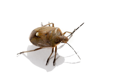 stinkbugs in cooler weather