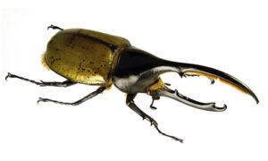 hercules-beetle-worlds-weirdest-insects