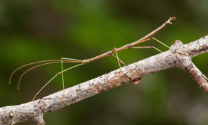 stick-insect-worlds-weirdest-insects