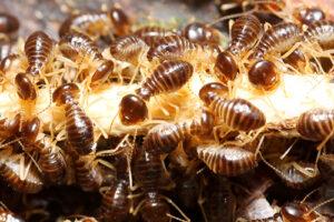 termite-infestation