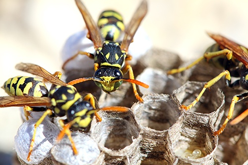 Why-The-Wasp-Stings